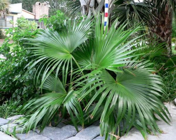 Домашний цветок с листьями как у пальмы 140