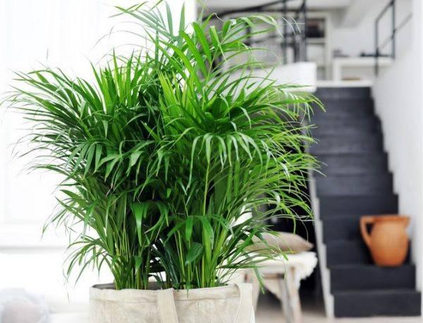Домашний цветок с листьями как у пальмы 71