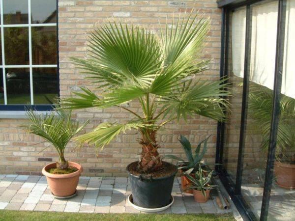 Домашний цветок с листьями как у пальмы 4
