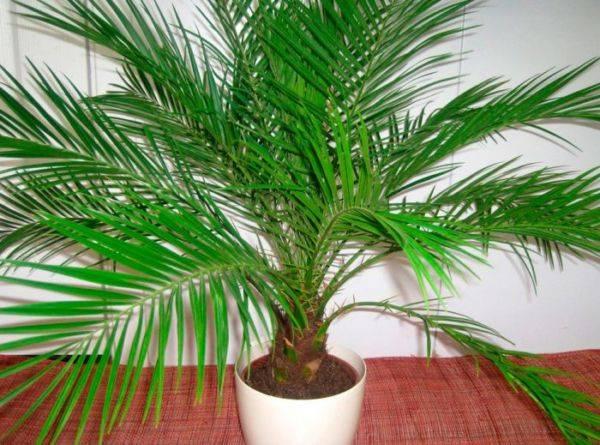 Домашний цветок с листьями как у пальмы 11