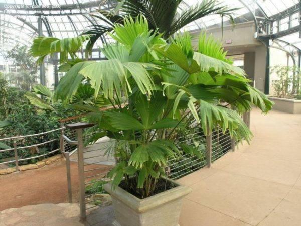 Домашний цветок с листьями как у пальмы 119