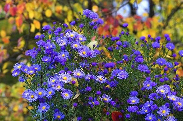 Фиолетовые садовые цветы