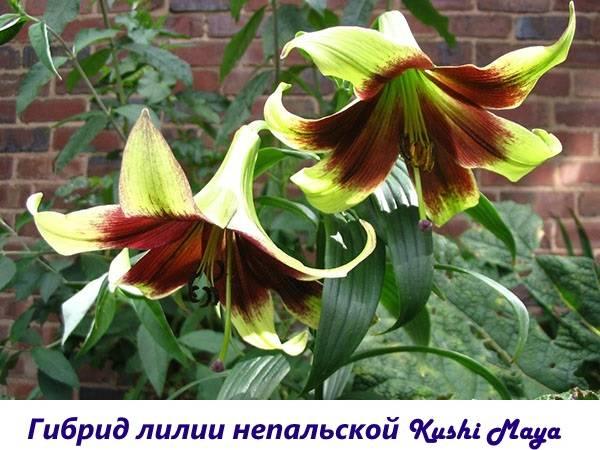 Лилии без запаха сорта