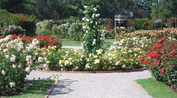 Ландшафтный дизайн розы