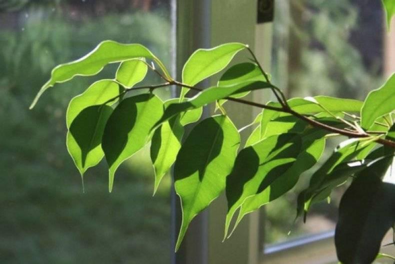 Фикус бенджамина почему скидывает листья