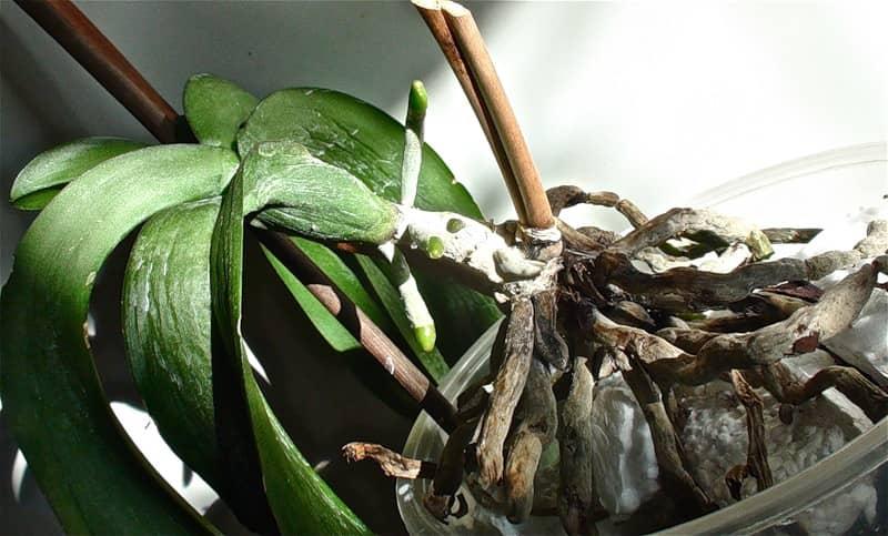Как восстановить тургор у листьев орхидеи