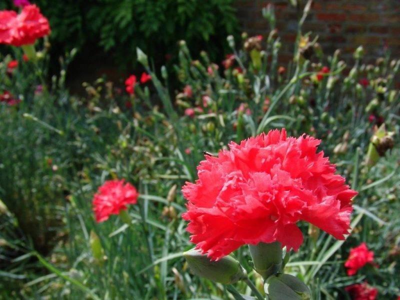 Садовая гвоздика многолетняя