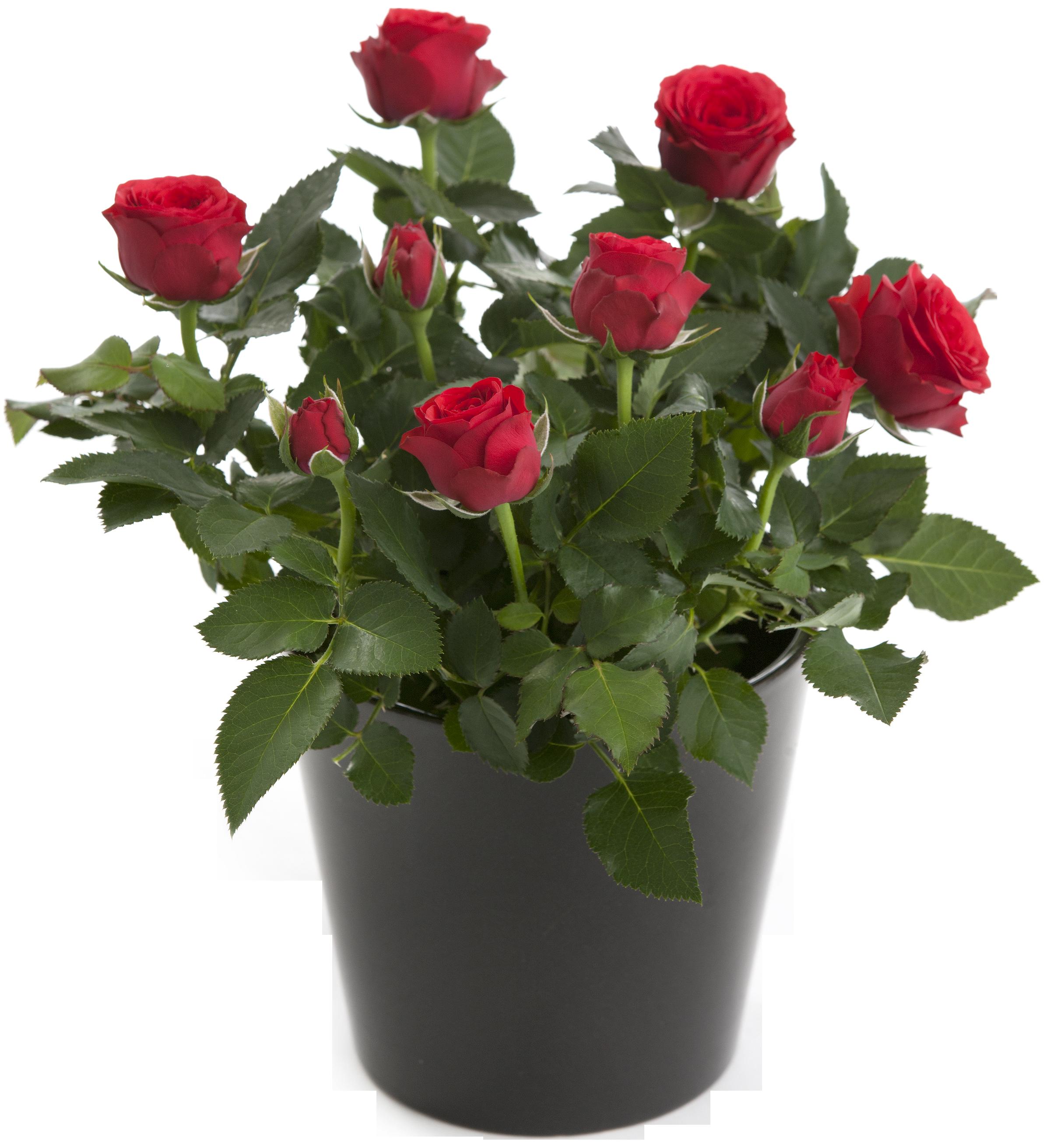 Как оживить розы в домашних условиях