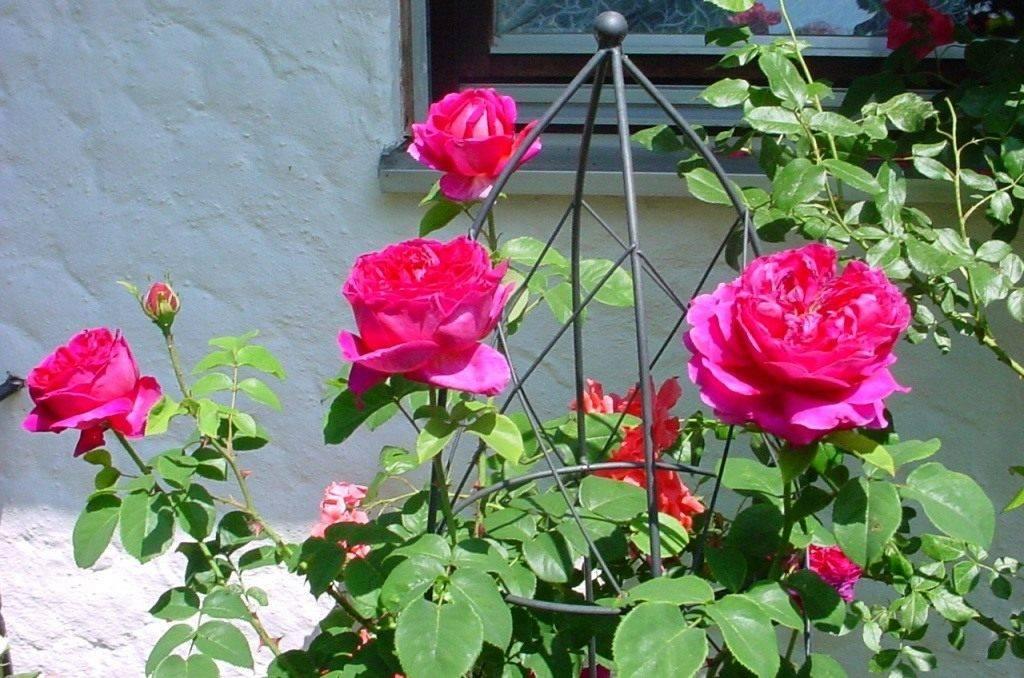 Пионовидная роза кремовая
