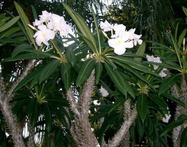 Пальма мадагаскарская уход в домашних условиях
