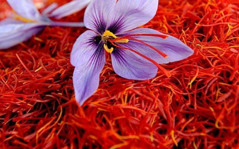 Растение крокус