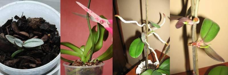 Как развести орхидею в домашних условиях черенками