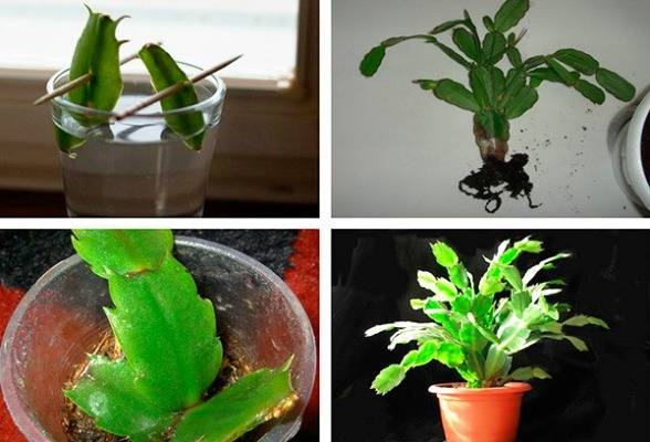 Как посадить декабрист из листочка