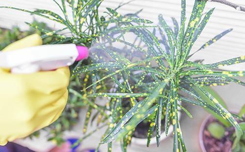 Щитовка на комнатных растениях методы борьбы