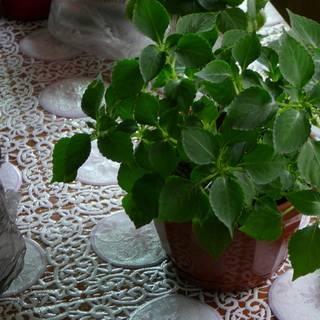 Растение ванька мокрый