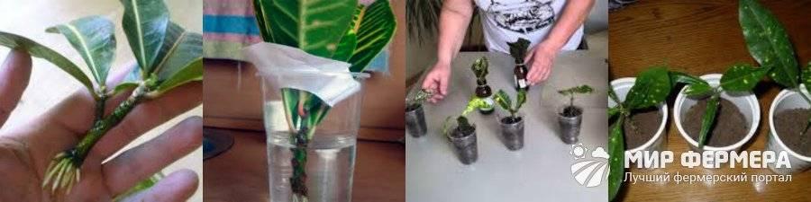 Как размножить кодиеум в домашних условиях