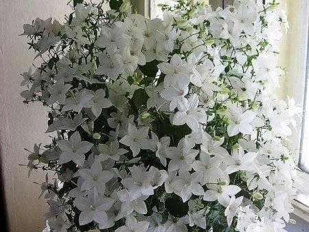 Комнатный цветок жених