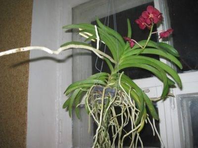 Почему у орхидеи много воздушных корней