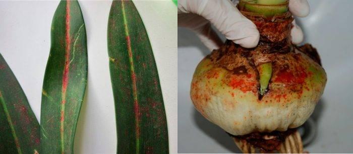 Комнатные растения гиппеаструм