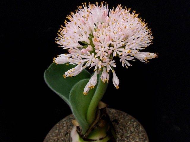 Гемантус катарины