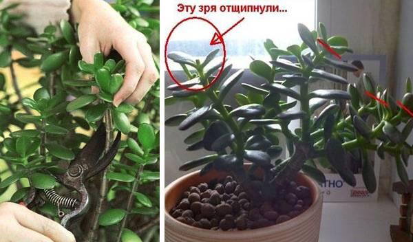 Как обрезать денежное дерево