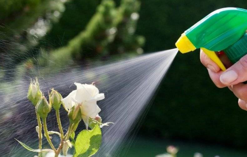 Как убрать тлю с розы