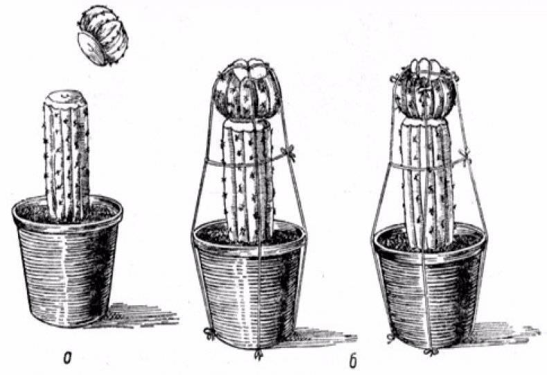 Как укоренить кактус