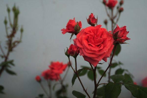 Как выглядят семена розы