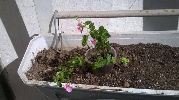 Диасция выращивание из семян