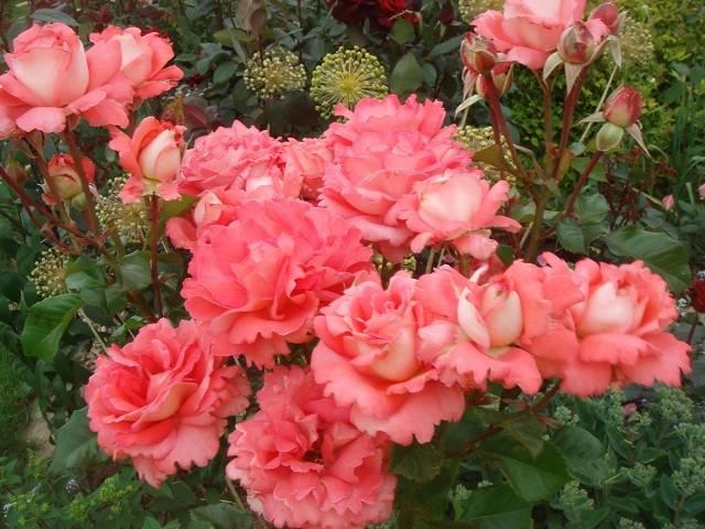 Роза вайкики флорибунда