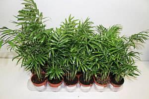 Пальма хамедорея уход в домашних условиях
