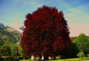 Дерево с красными листьями