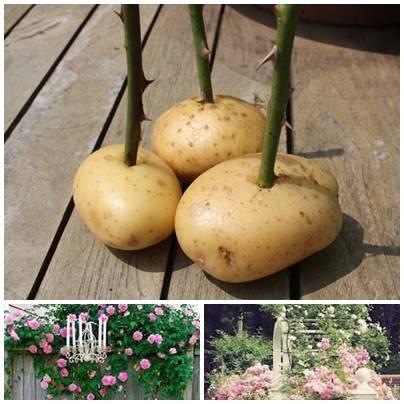 Посадка розы в картофельный клубень