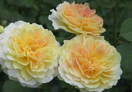 Английские розы что это такое