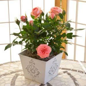 Роза цветок уход в домашних условиях 172