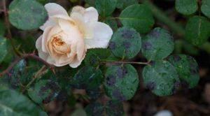 Роза цветок уход в домашних условиях 150