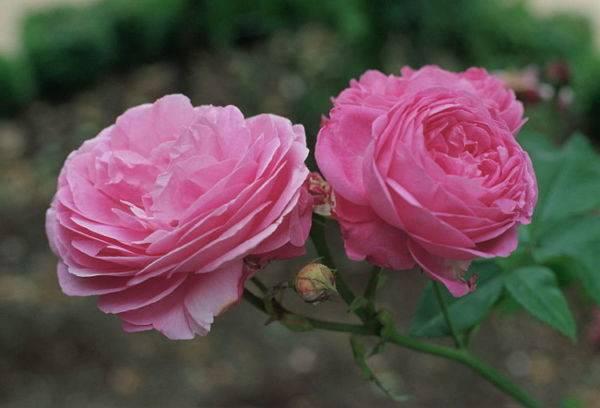 Роза цветок уход в домашних условиях 145