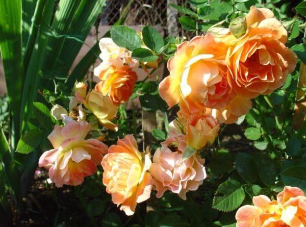 Роза цветок уход в домашних условиях 95