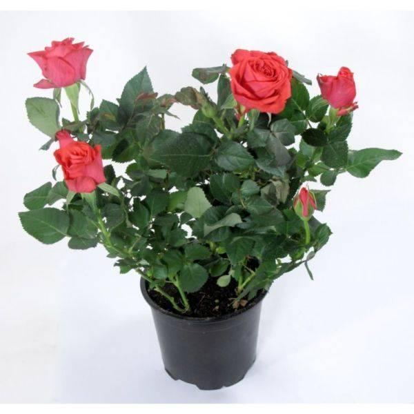 Роза цветок уход в домашних условиях 71
