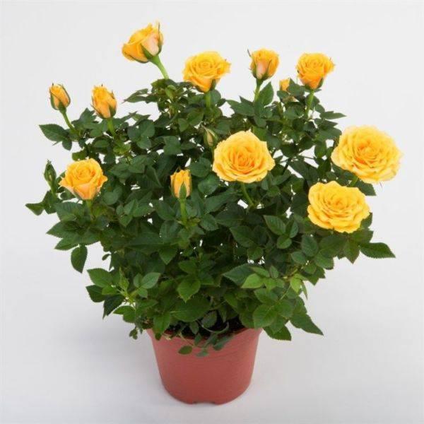 Роза цветок уход в домашних условиях 124