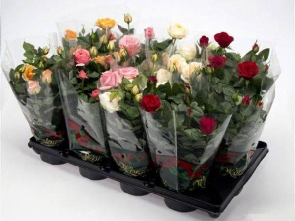 Роза цветок уход в домашних условиях 192