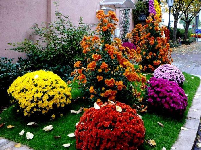 Хризантемы декоративные