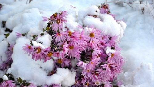 Цветы сентябринки посадка и уход