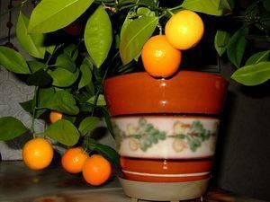 Мандариновое дерево из косточки в домашних условиях