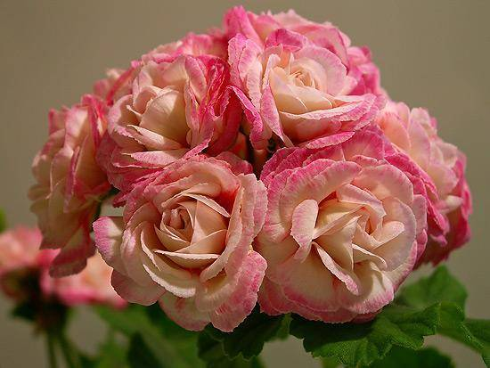 Пеларгония красная розебудная