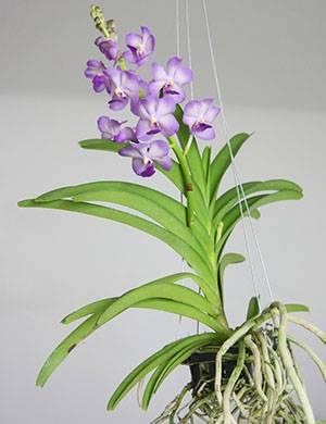 Эквестрии орхидея