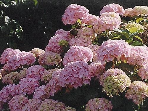 Hydrangea petiolaris уход и посадка