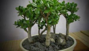 Цветы денежного дерева в домашних условиях 84