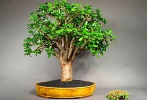 Цветы денежного дерева в домашних условиях 65