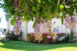 Глициния уход и выращивание в подмосковье